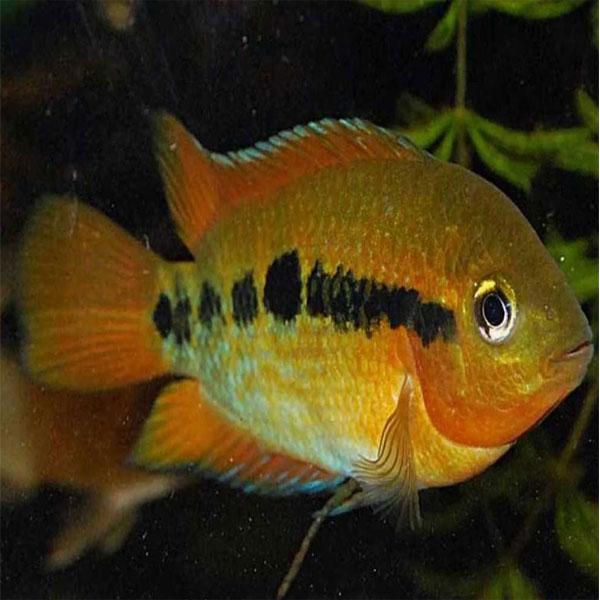Rainbow Cichlid