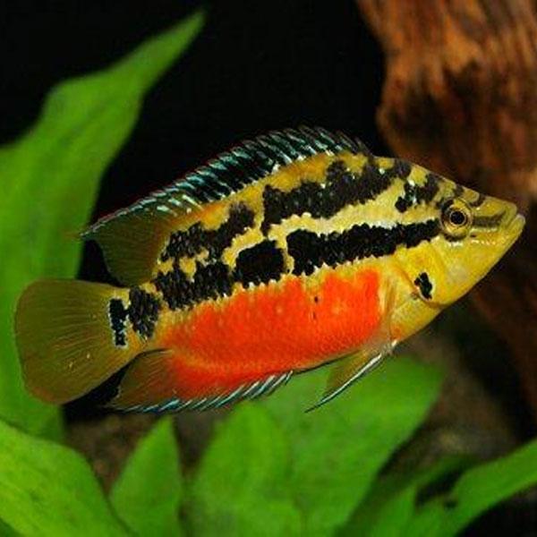 Salvin's Cichlid