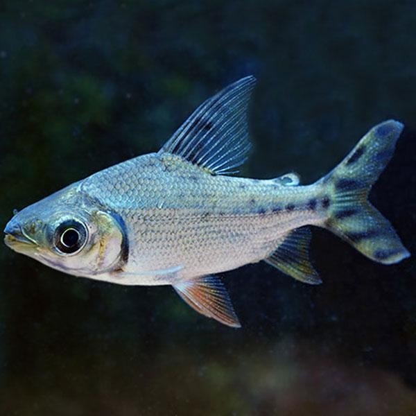 Silver Prochilodus