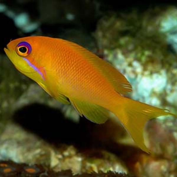 ماهی آنتیاس دم چنگی - Indian Ocean Lyretail Anthias