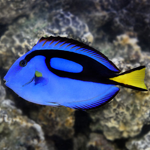 جراح ماهی بلو تانگ - Blue Tang
