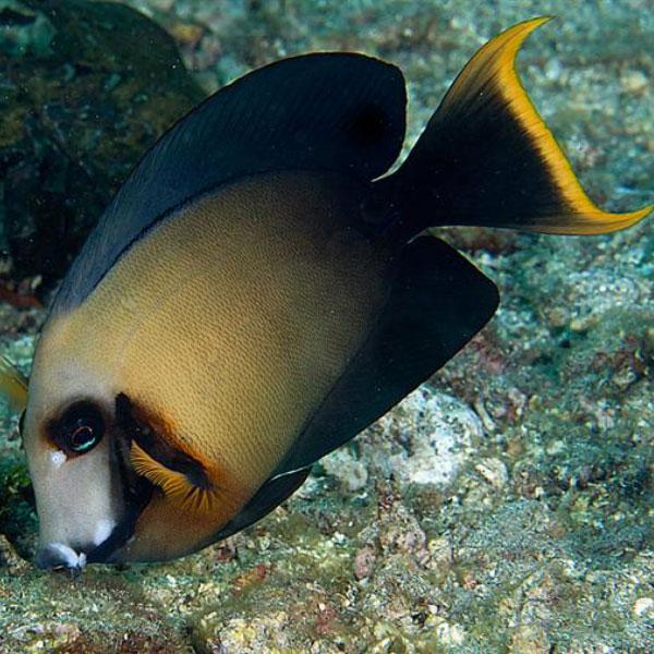 جراح ماهی شکلاتی بالغ - Chocolate Surgeonfish Adult