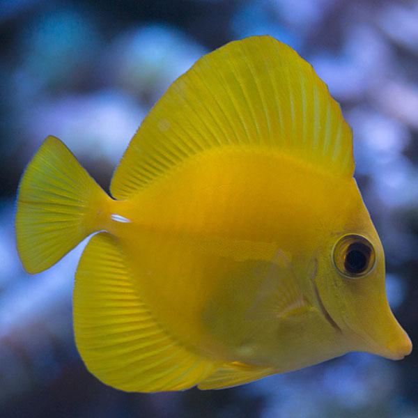 جراح ماهی زرد هاوایی - Yellow Tang