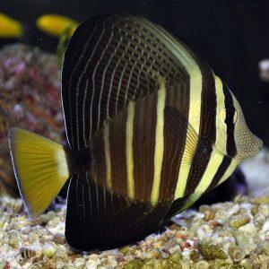 جراح ماهی بادبانی - Sailfin Tang