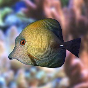 جراح ماهی قهوه ای - Brown tang