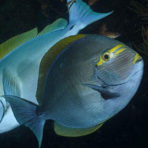 جراح ماهی ماتا - Mata Tang Fish