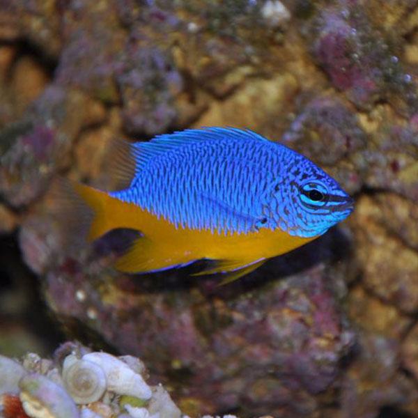 دامسل شکم زرد - Azure Damselfish