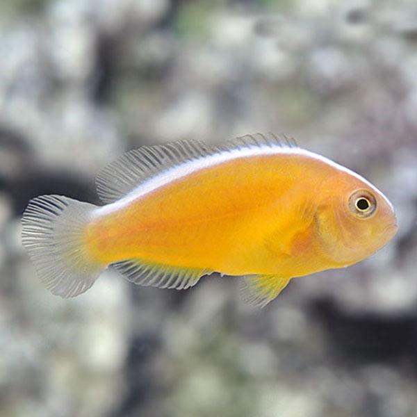دلقک ماهی اسکانک نارنجی - Orange Skank Clownfish