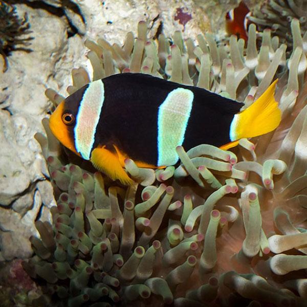 دلقک ماهی کلارکی - Clarkii Clownfish