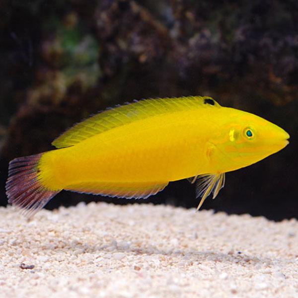 راس زرد - Yellow Wrasse Male