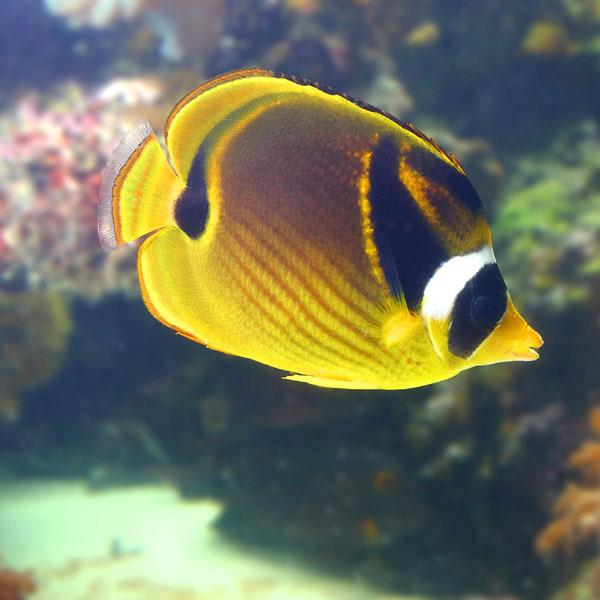پروانه ماهی راکون - Raccoon Butterflyfish