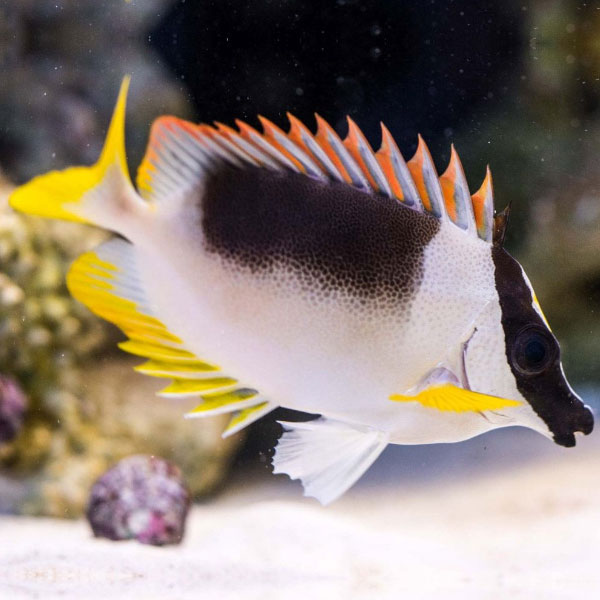 روباه ماهی سلطنتی - Magnificent Foxface