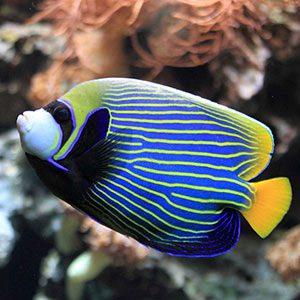 فرشته ماهی امپراطور