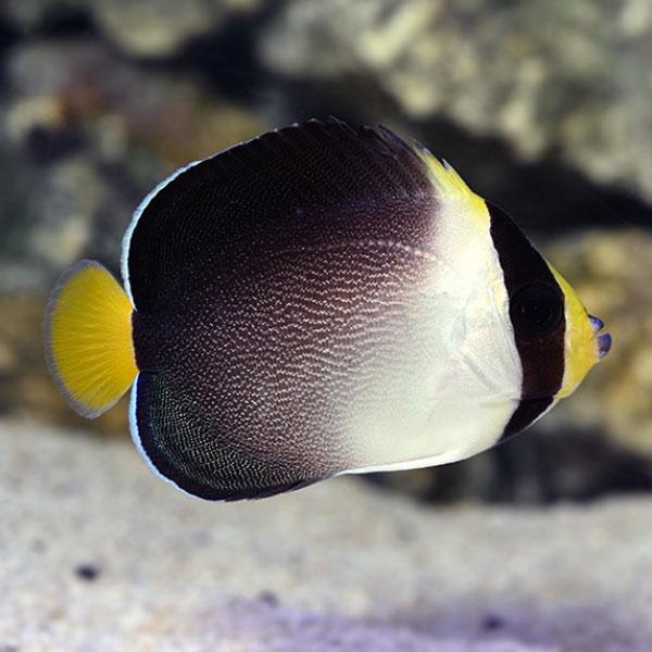 فرشته ماهی سنگاپوری - Singapore Angelfish