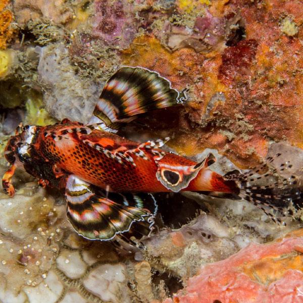 خروس ماهی فومانچو - Twospot Lionfish