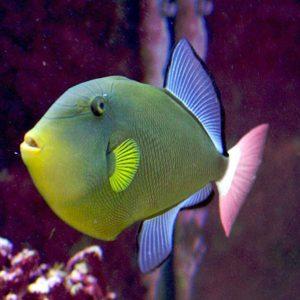 ماشه ماهی دم صورتی - Pinktail Tigger fish
