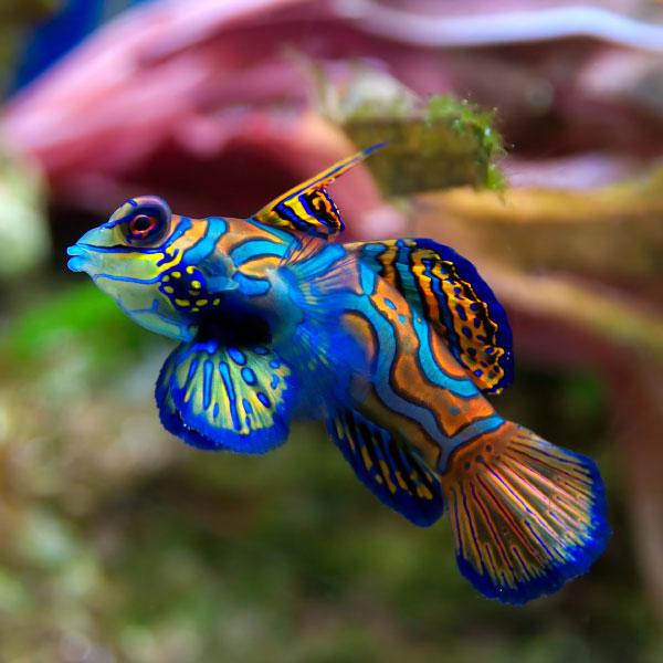ماهی ماندارین - Green Mandarin
