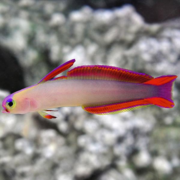 نیزه ماهی بنفش آتشین - Purple Firefish