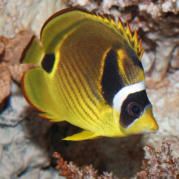 پروانه ماهی راکون