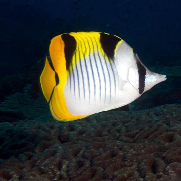 پروانه ماهی فالکولا - Falcula Butterflyfish