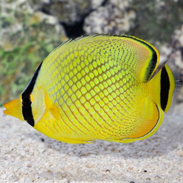 پروانه ماهی مشبک - Latticed Butterflyfish