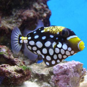 ماشه ماهی پیکاسو کلون - Balistoides conspicillum