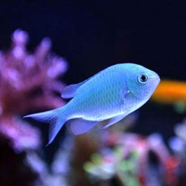 ماهی کرومیس آبی - Blue Chromis