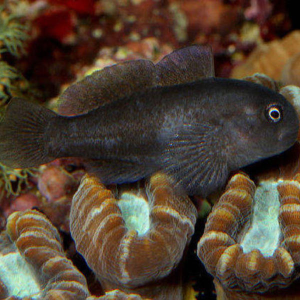 گوبی مرجانی سیاه - Black Coral Goby