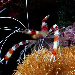 میگو باکسر - Banded Coral Shrimp