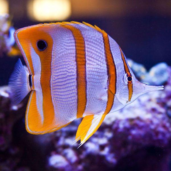 پروانه ماهی نوار مسی - Copperband Butterflyfish