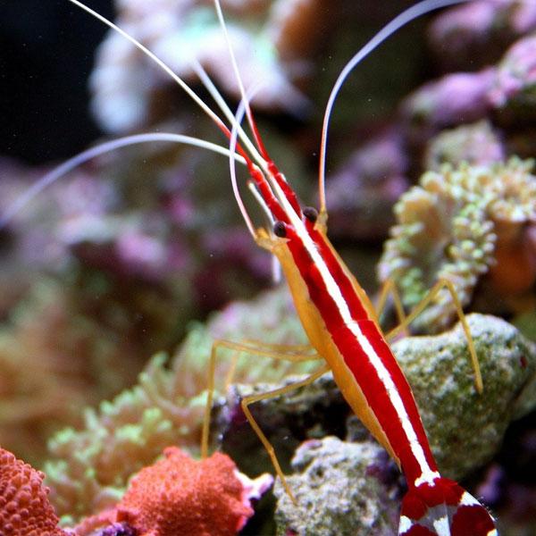 میگو کلینر - Scarlet Cleaner Shrimp