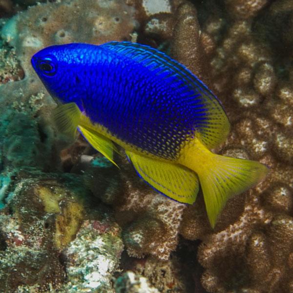 دامسل دم زرد - Yellowtail Damselfish