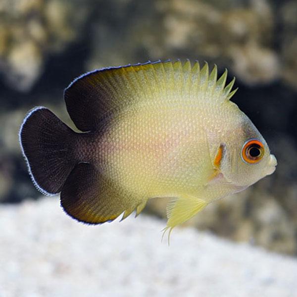 فرشته ماهی ورولیکی ( نیمه مشکی ) - Half Black Angelfish