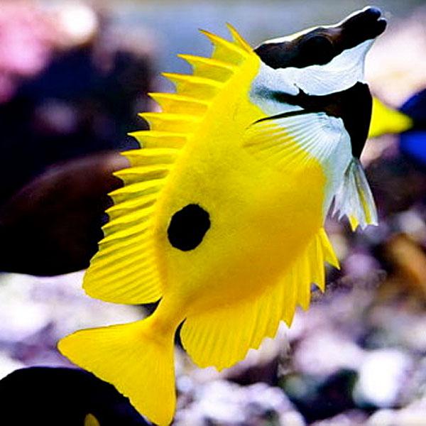 روباه ماهی زرد - Yellow Fish Fox